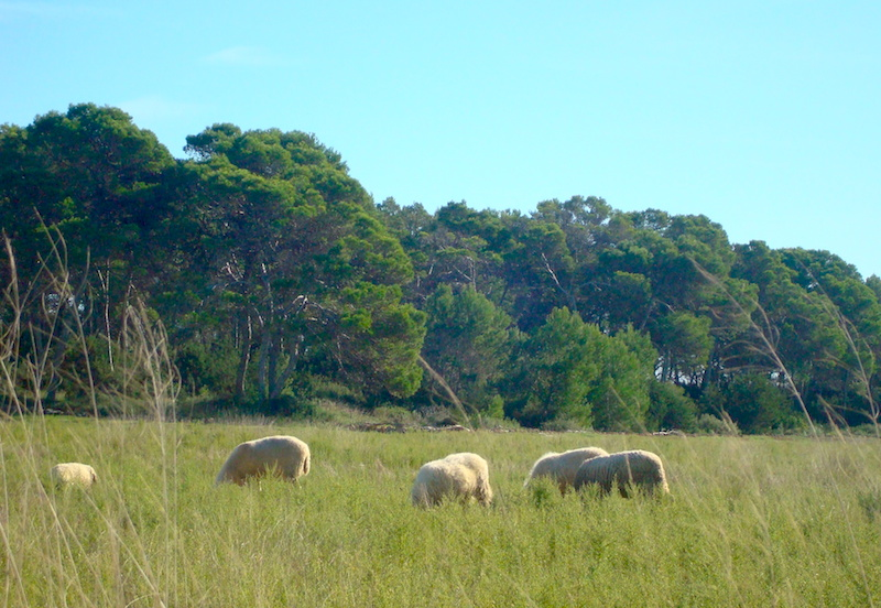 Pecore Formentera