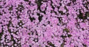 fiori-rosa